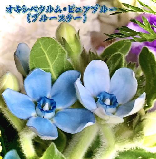 02.オキシペタルム・ピュアブルー(ブルースター).jpg