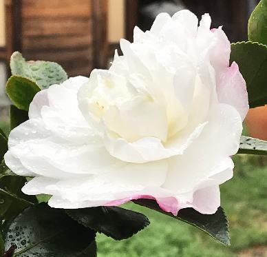 2018  咲き始めた冬花.jpg