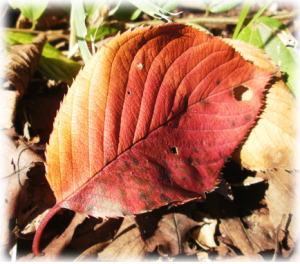 25 紅桜.jpg