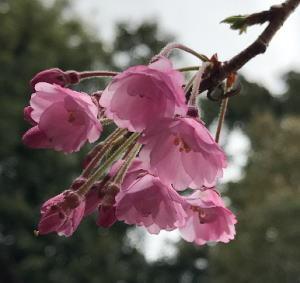 妙覚寺の桜.jpg
